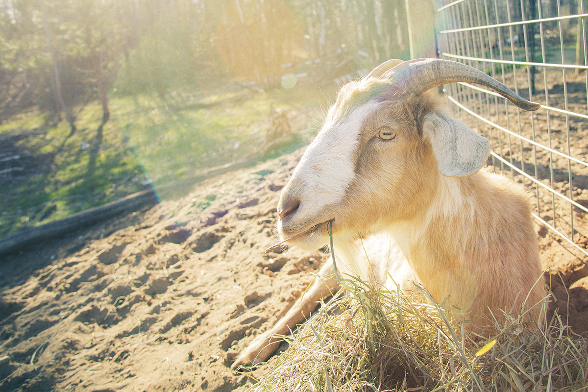 picture of goat eating hay